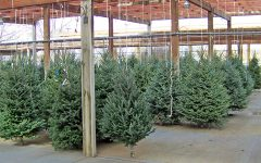 Under the Radar: Live Christmas Trees